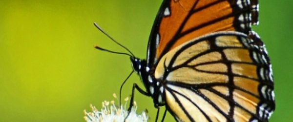 Why Butterflies Avoid Your Yard