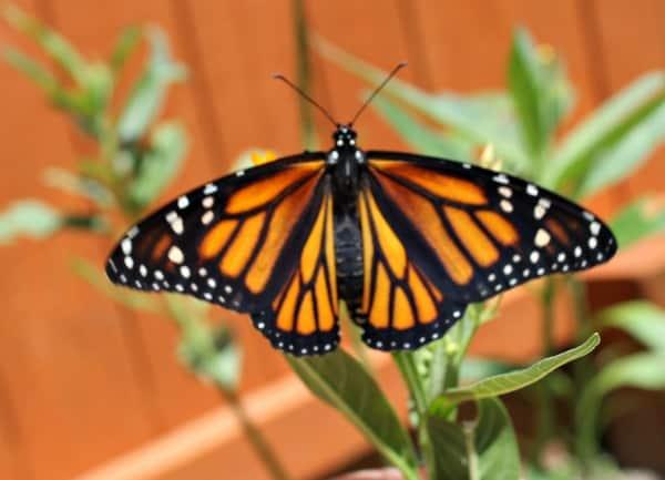 successful monarch butterfly garden
