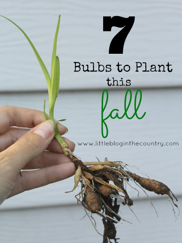 7 Bulbs to Plant this Fall