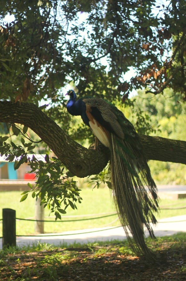 weeki wachee peacock