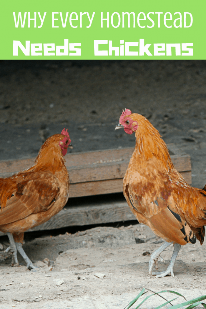 Why Every Homestead Needs Chickens