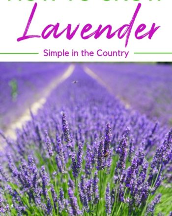 How to Grow Lavender and What to do with it
