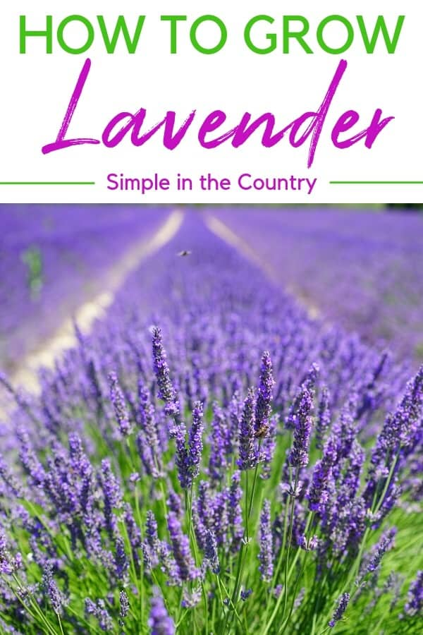 The Ultimate How to Grow Lavender Post