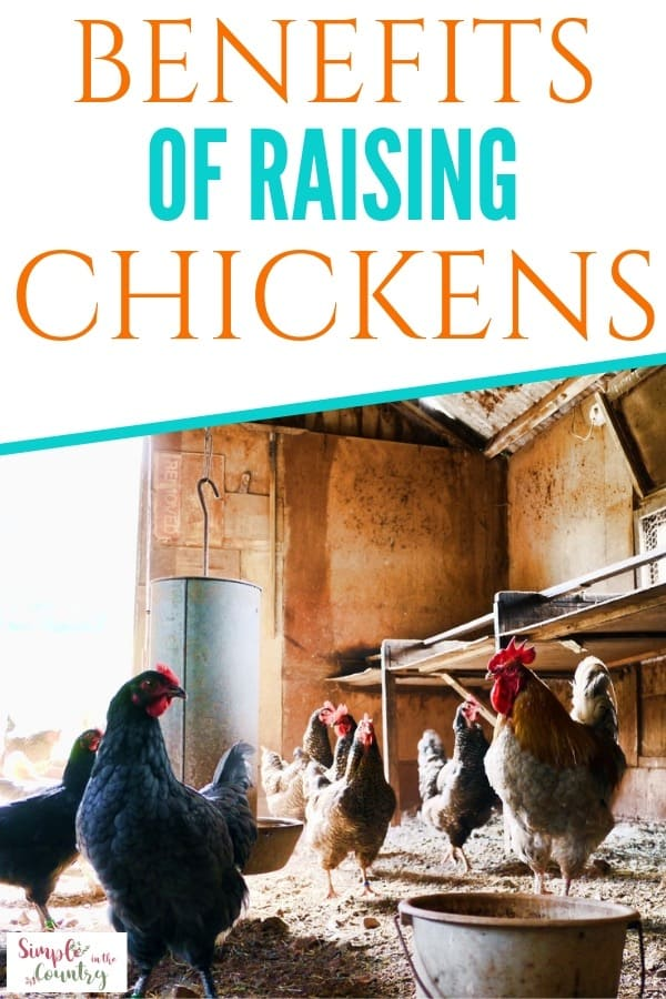 Chickens in the chicken coop benefits of raising chickens