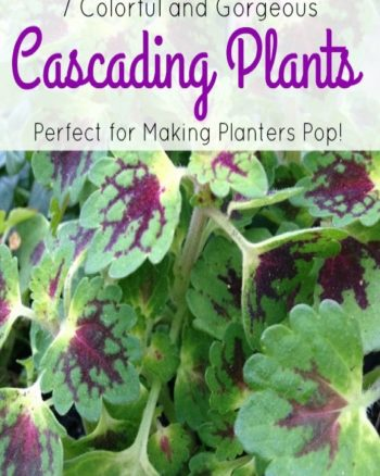 Cascading Plants That Make Planters Pop