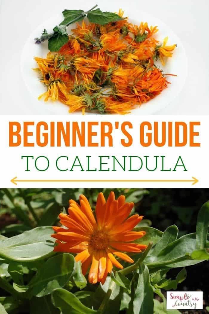 How to Grow Calendula Beginner's Guide